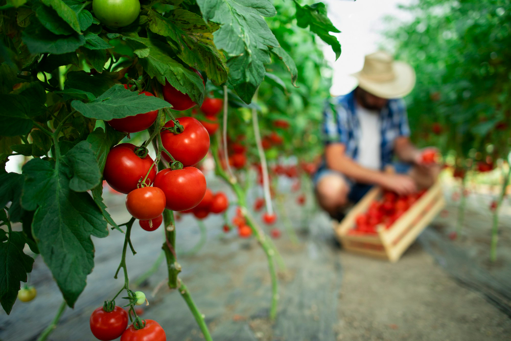 agriculteur tomate